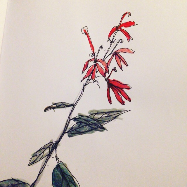 A cardinal flower found growing along the bank of the Abita River. September 2015. Cardinal flowers depend on hummingbirds for pollination, and were used by the first Americans to treat intestinal diseases.
