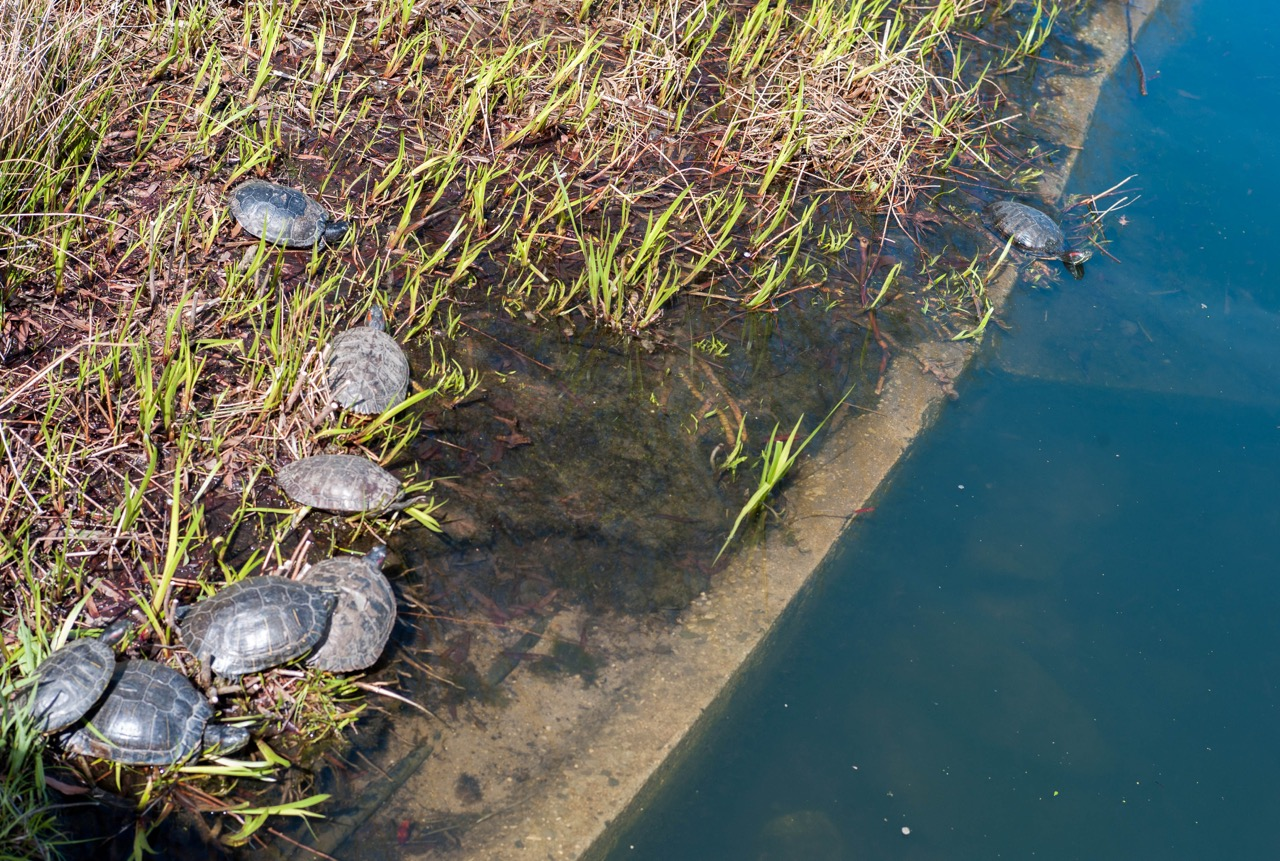 So glad to see the turtles out. I should work on being a turtle pond regular.