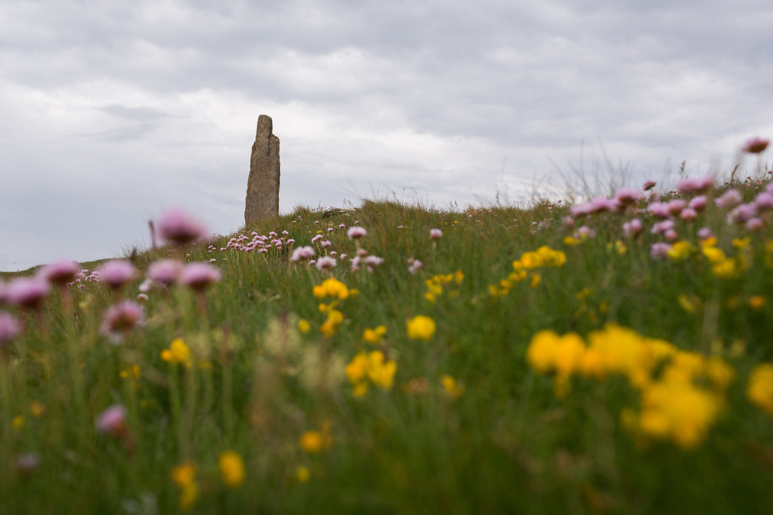 Wildflowers, Tomb of Eagles, Orkney