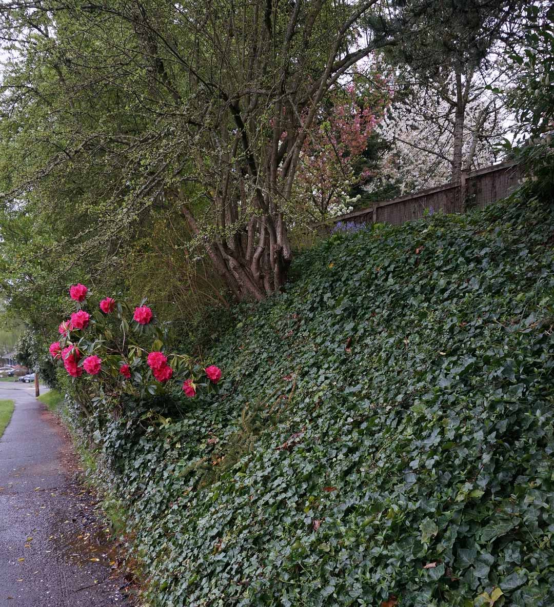 Rhododendrons on the landscape