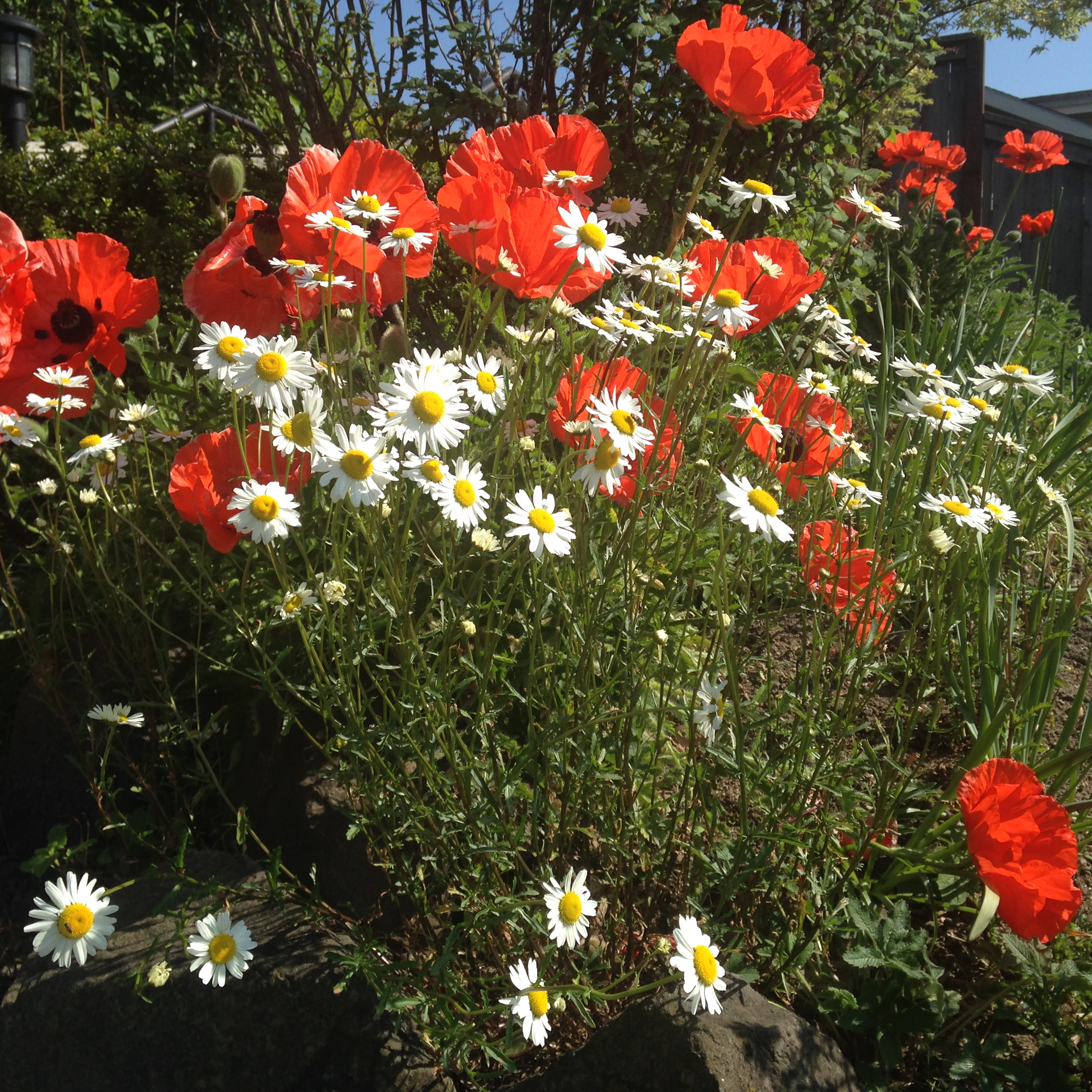 Bright orange poppies on a sunny spring afternoon.