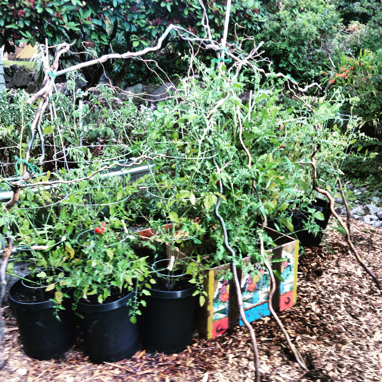 IMG_6634.JPG Tomato Plants