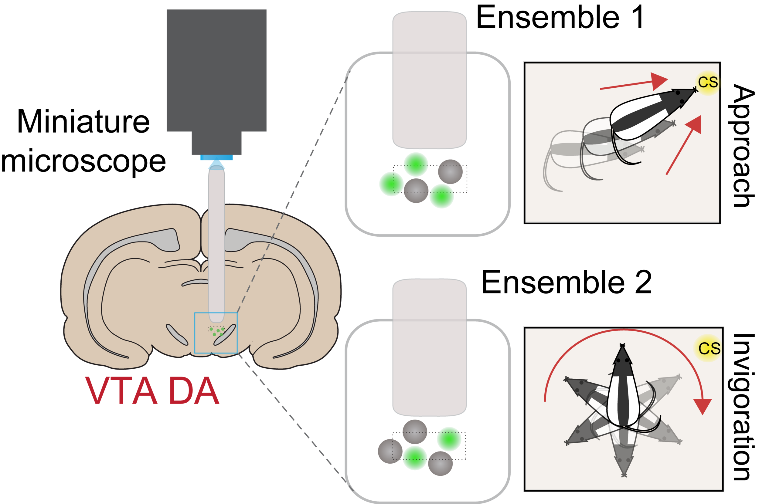 Heterogeneous DA neuron activity will be further explored with projection-defined imaging studies.