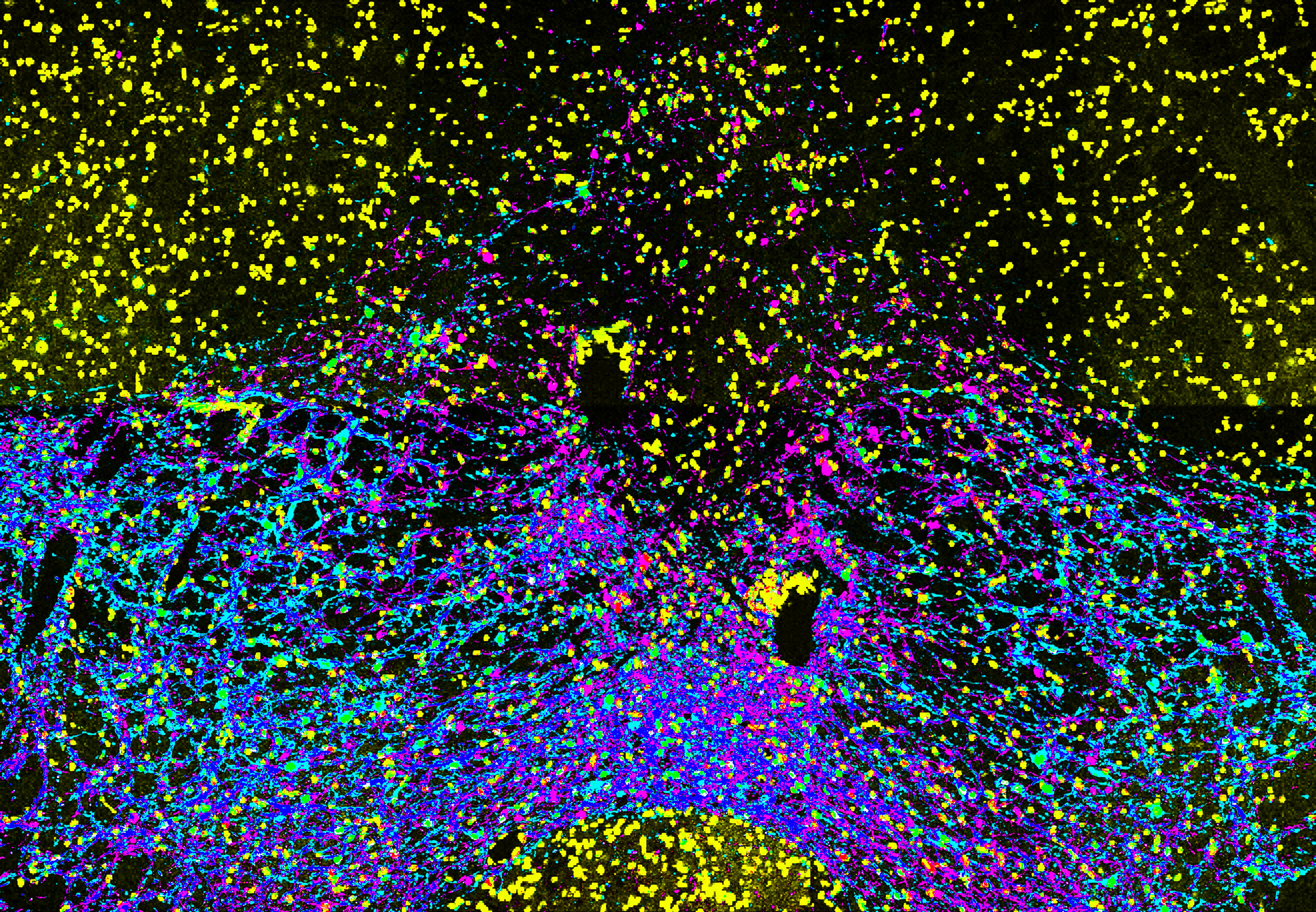 Image of the medial ventral tegmental area. Dopaminergic neurons, expressing tyrosine hydroxylase (pink), co-express ChR2-eYFP (light blue) in this preparation.