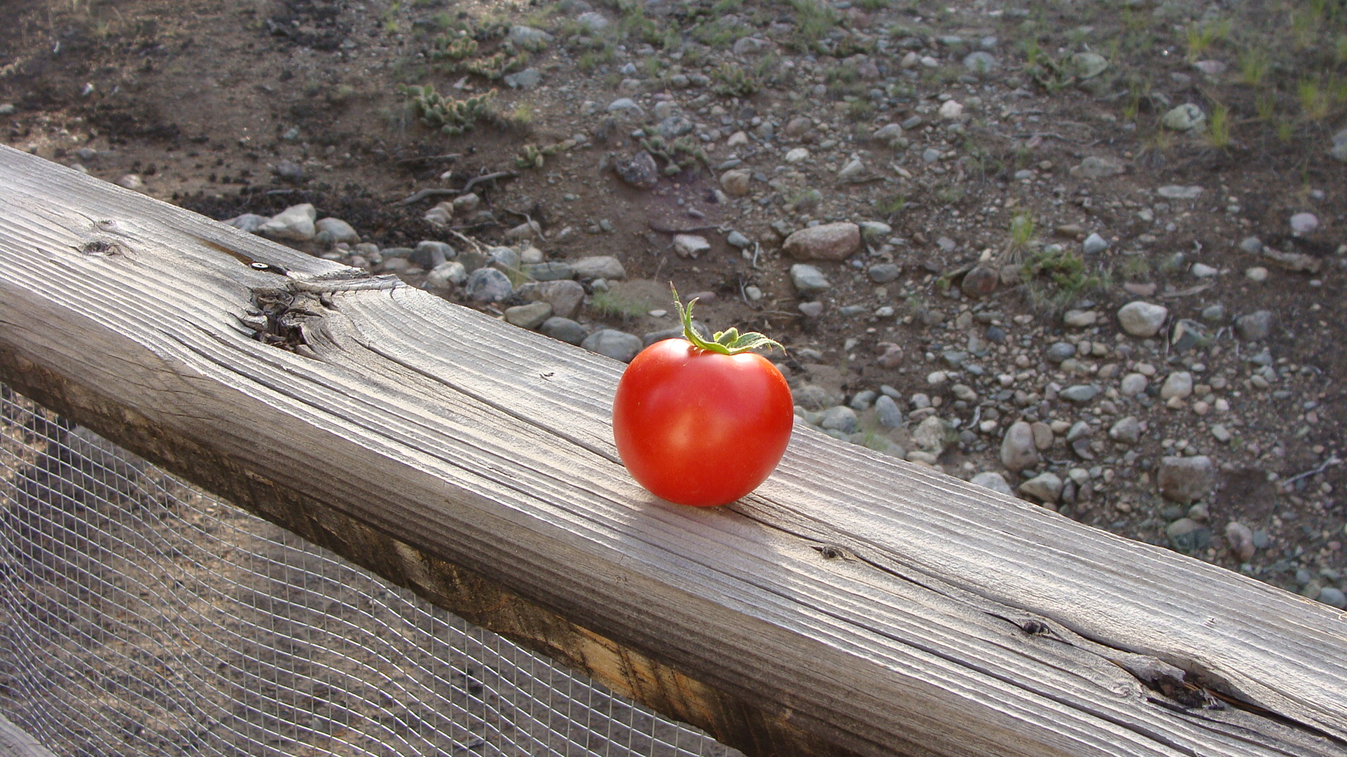tomato in the sunlight