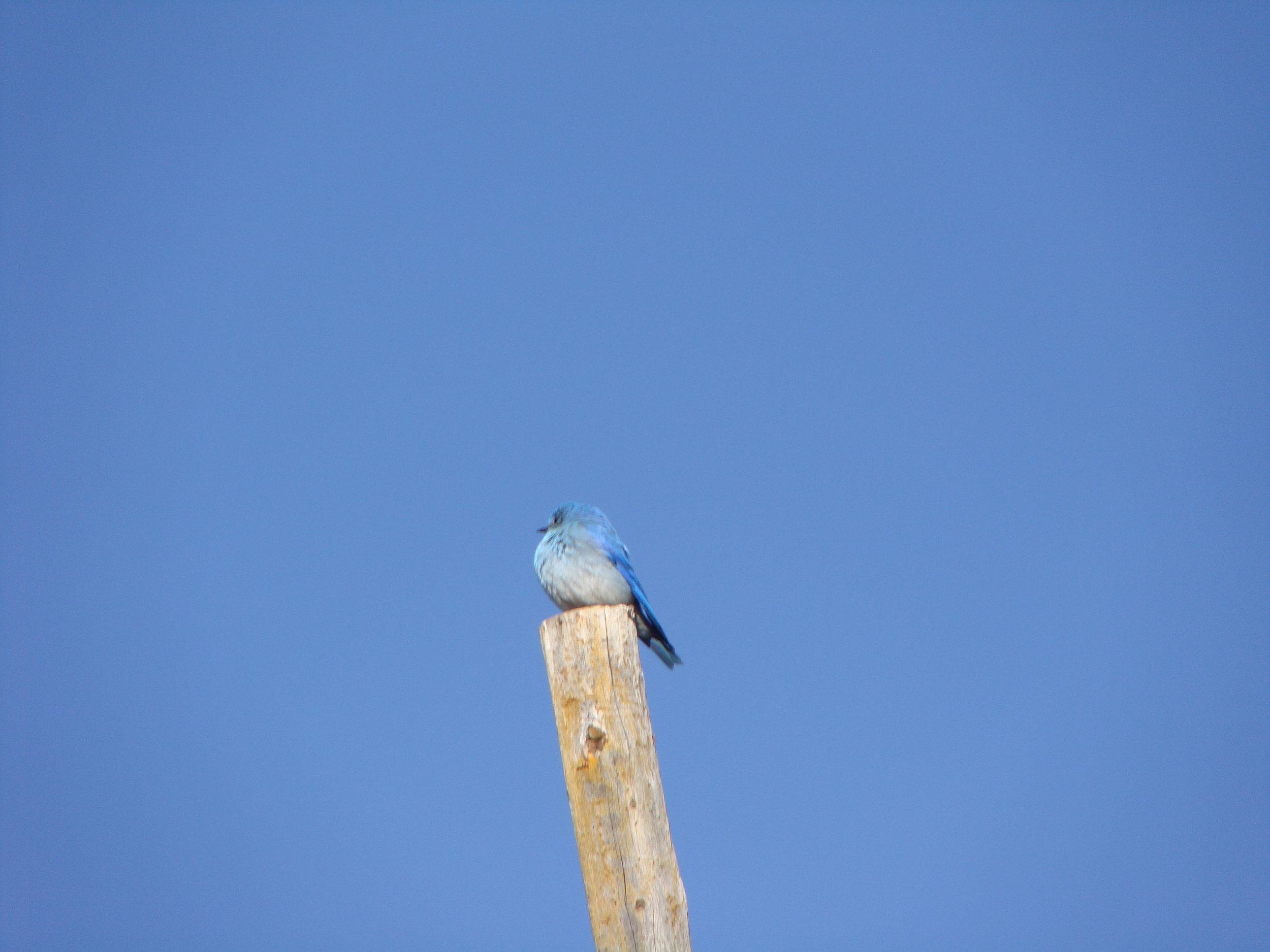 Bluebird, blue sky. Beautiful Day!