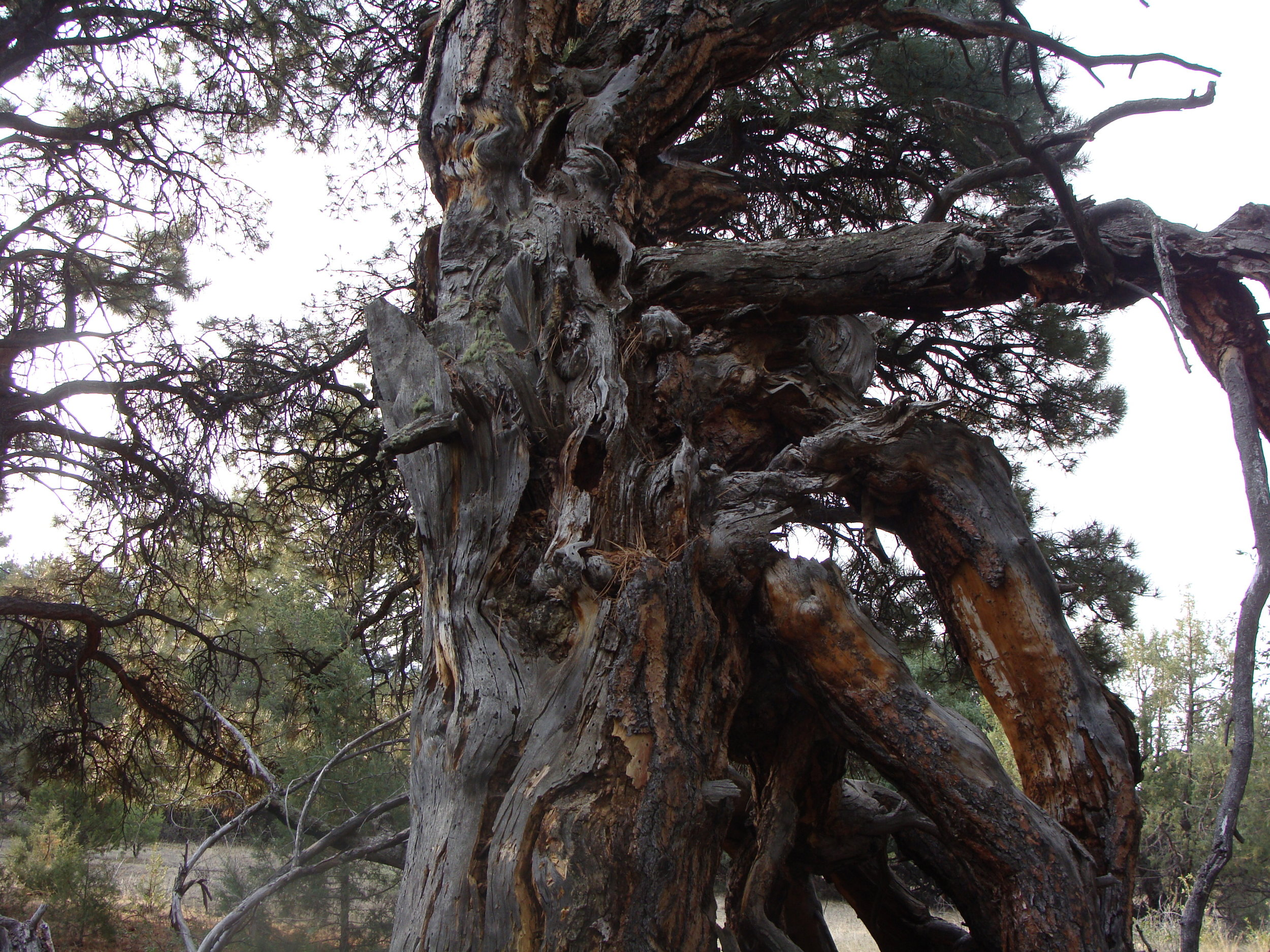The Fierce Softness of Grandmother Pine lives on.
