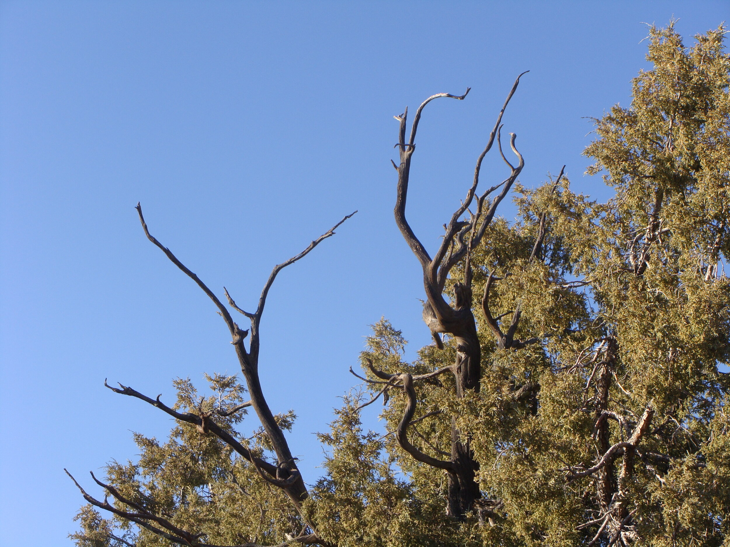 Old Branches Dancing  in the Juniper