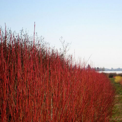Dogwood Red Twig