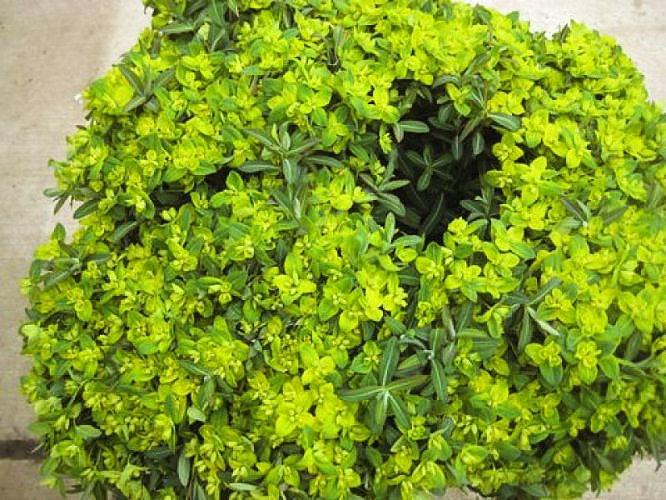 Green Euphorbia