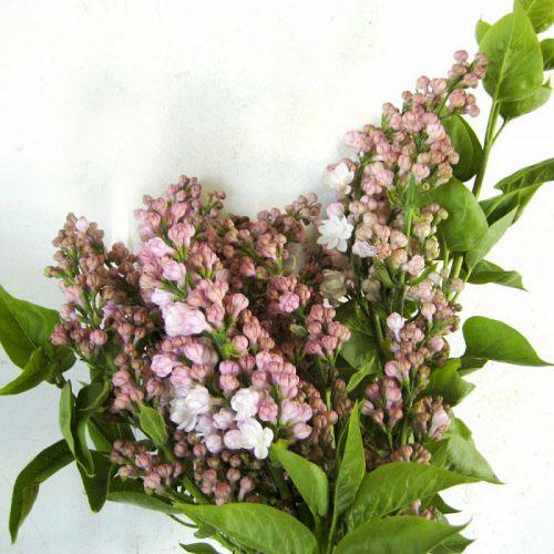 Lilac Moshky