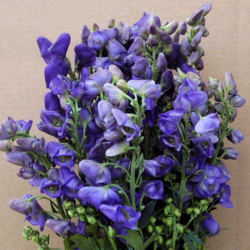 Monkshood