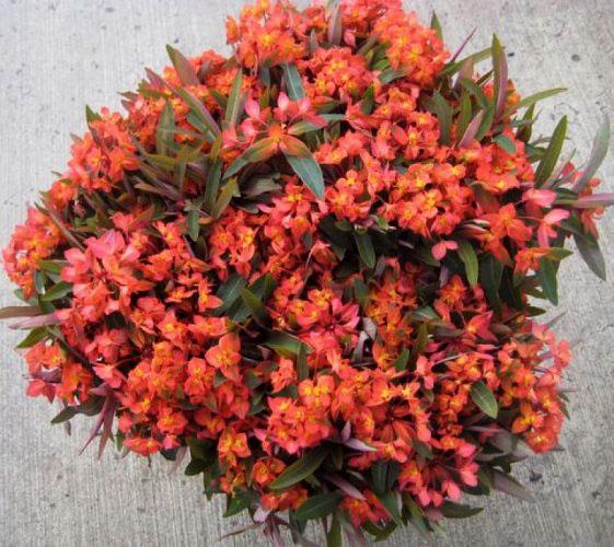 Orange Euphorbia