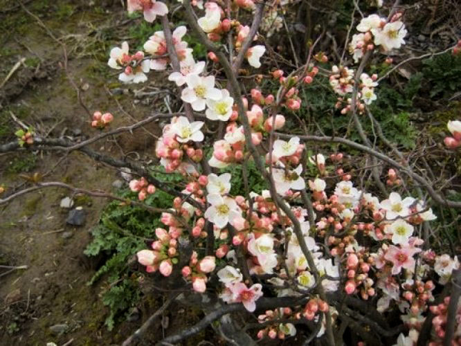 Quince Contorted