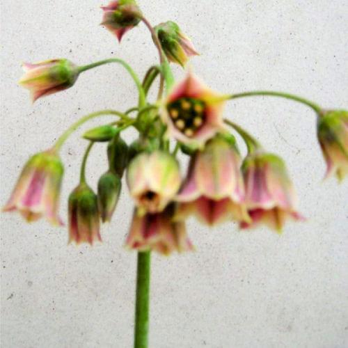 Bell Allium