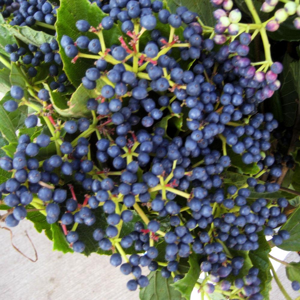 Viburnum Blueberry
