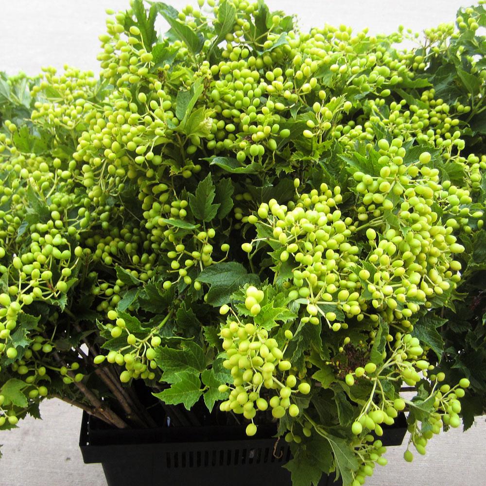 Verburnum Yellowberry