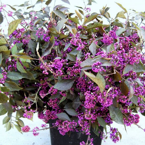 Callicarpa Beauty Berry