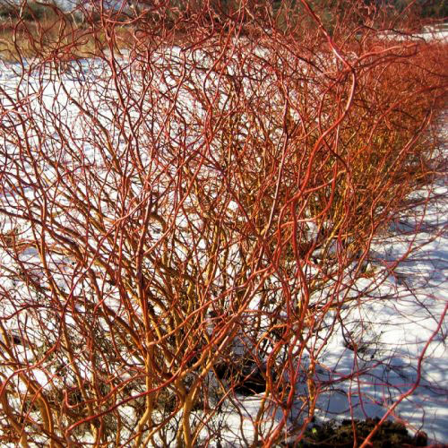Curly Willow Red