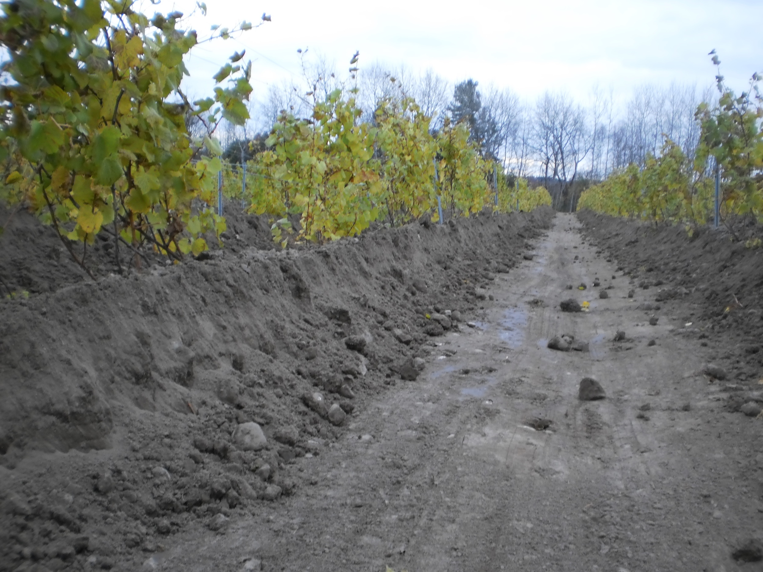 Hallmark of well protected vines: extreme hilling-up for winter protection. The main reason it costs more to keep a PEC vineyard than one in Niagara.