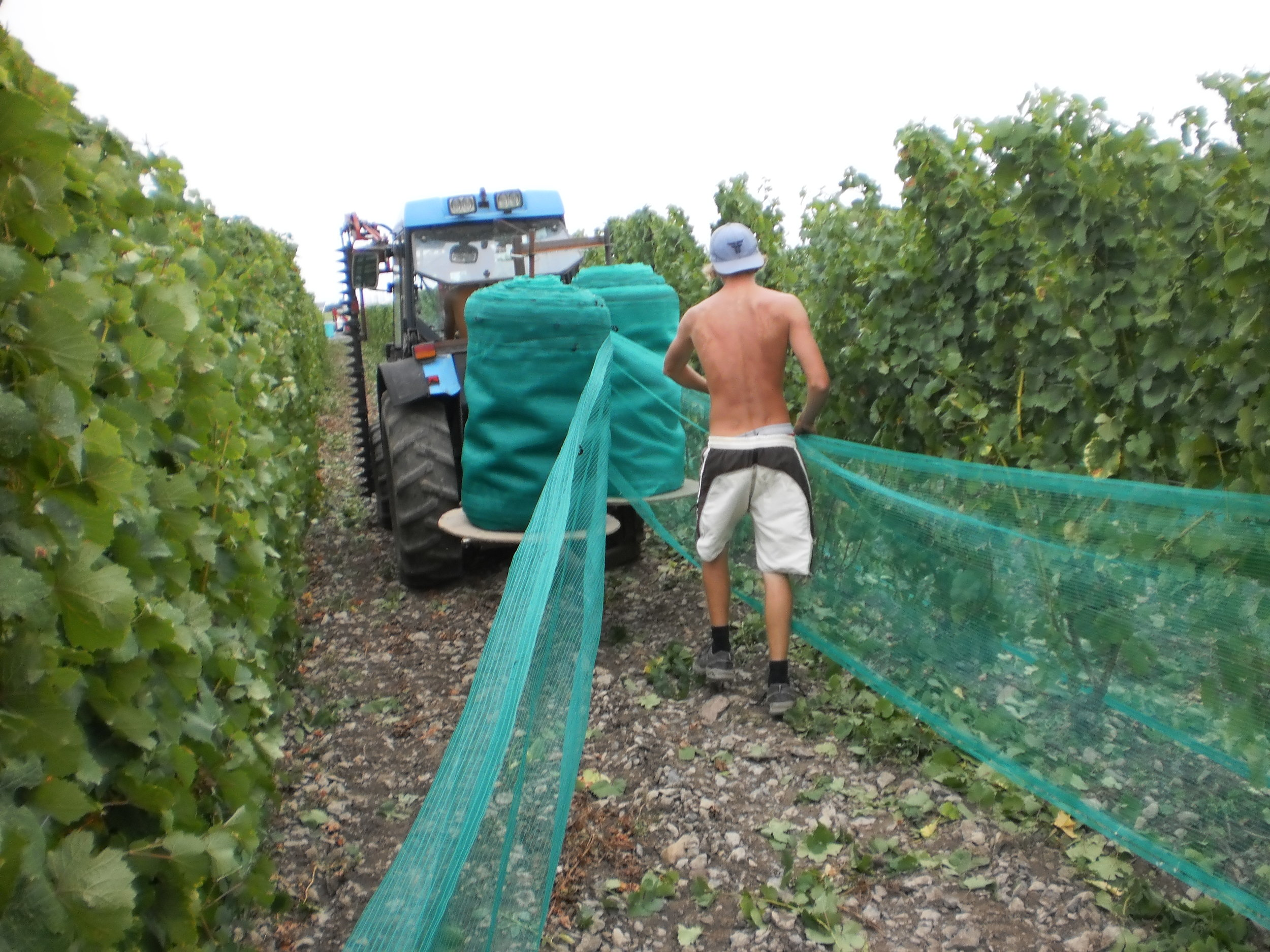 It's important to gets those nets on to protect the ripening fruit from predators.