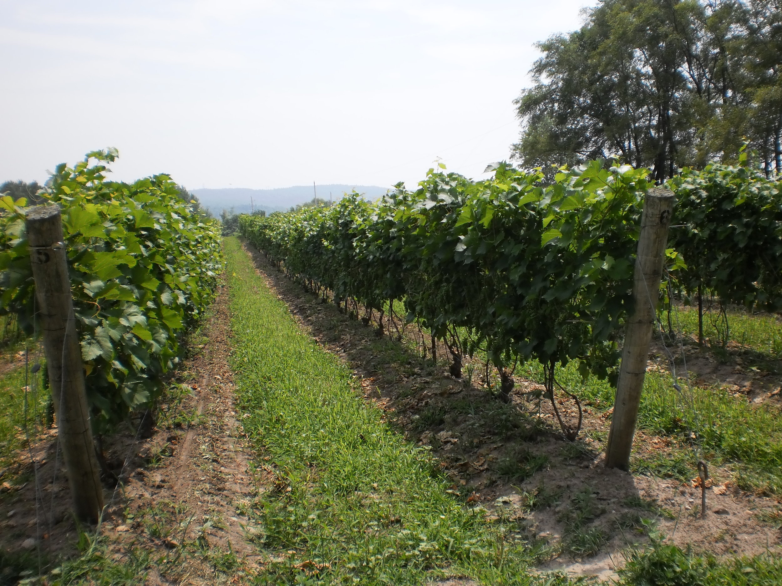 Cover crop between rows is an option some vineyard owners opt for.