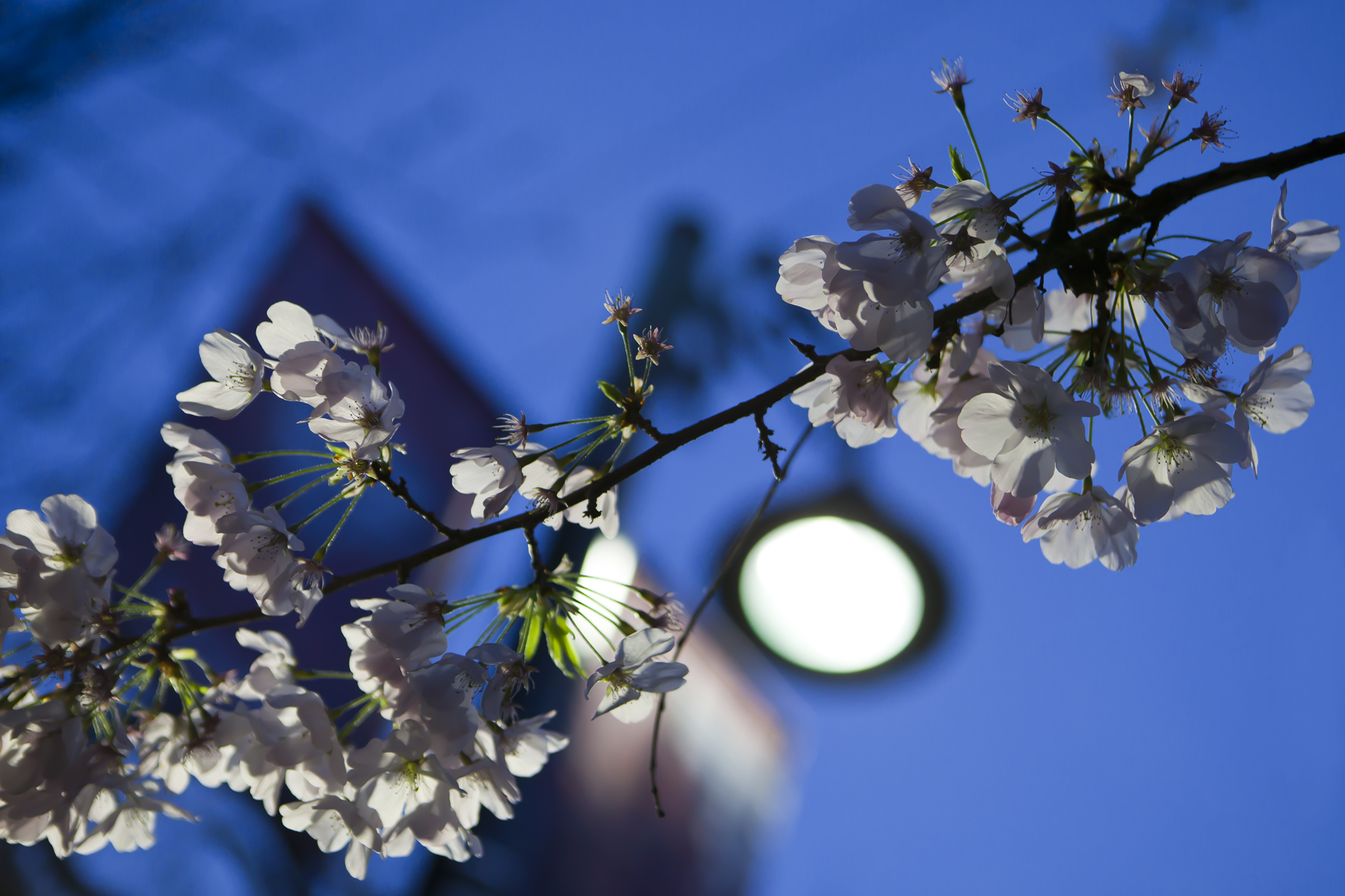 Cherry blossoms at night in Yaletown