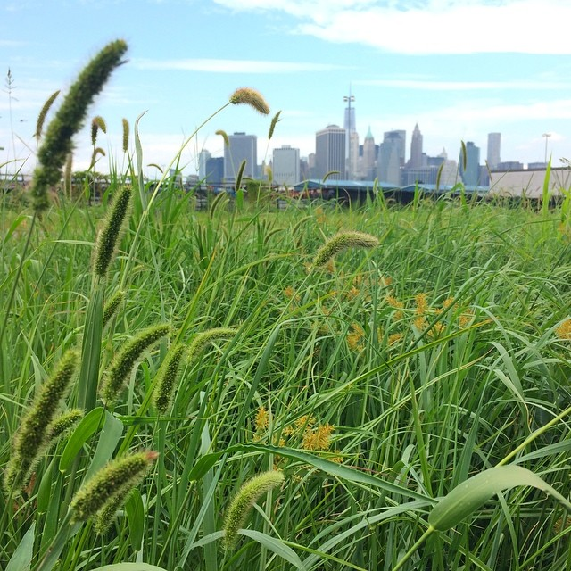 A Brooklyn waterfront asphalt lot converted to meadow, three months after installation.