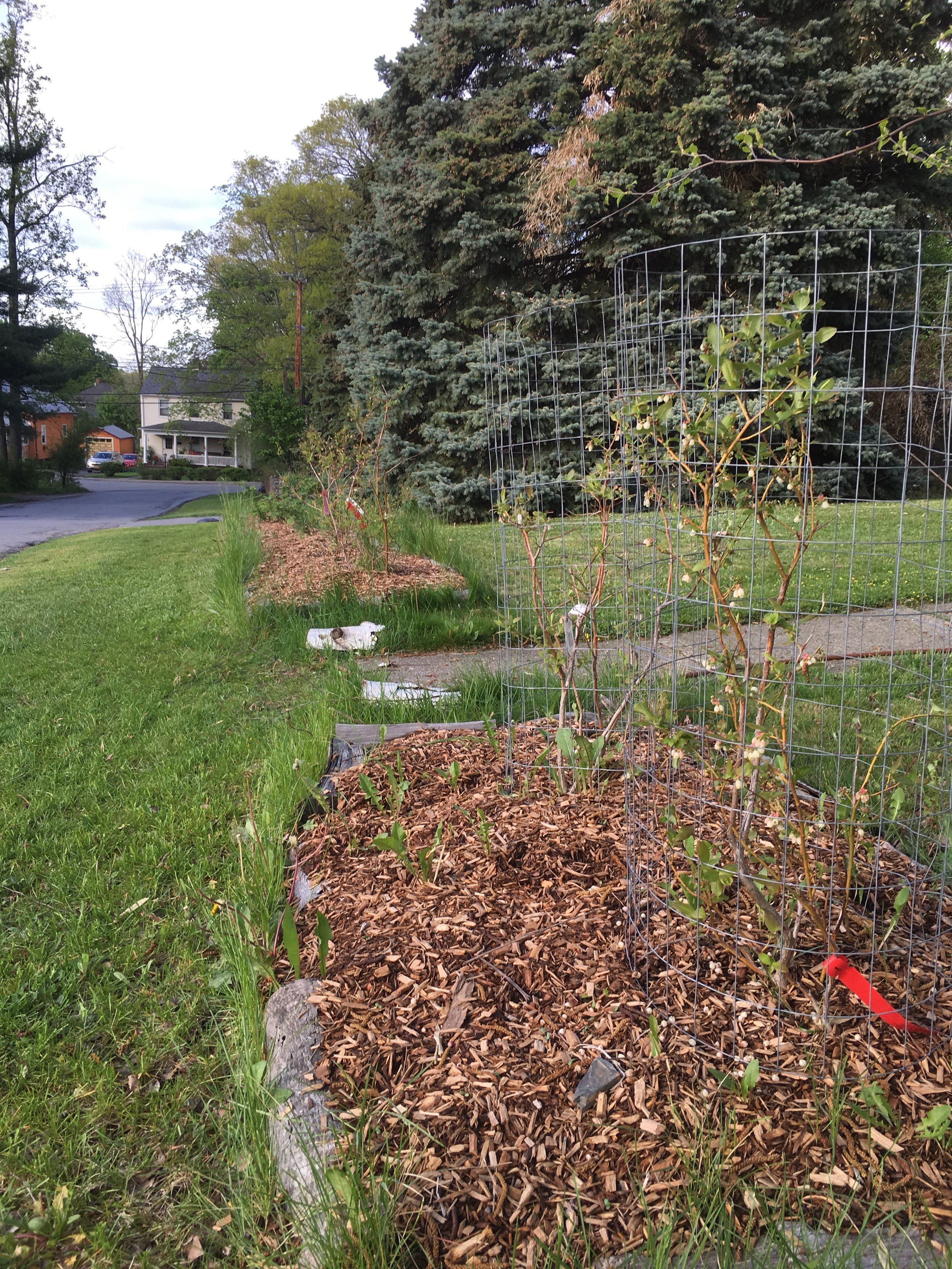 2015- Blueberres remain in the streetside berry hedge