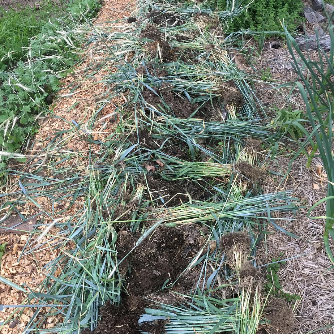 2017- Planting Sweet Potatoes