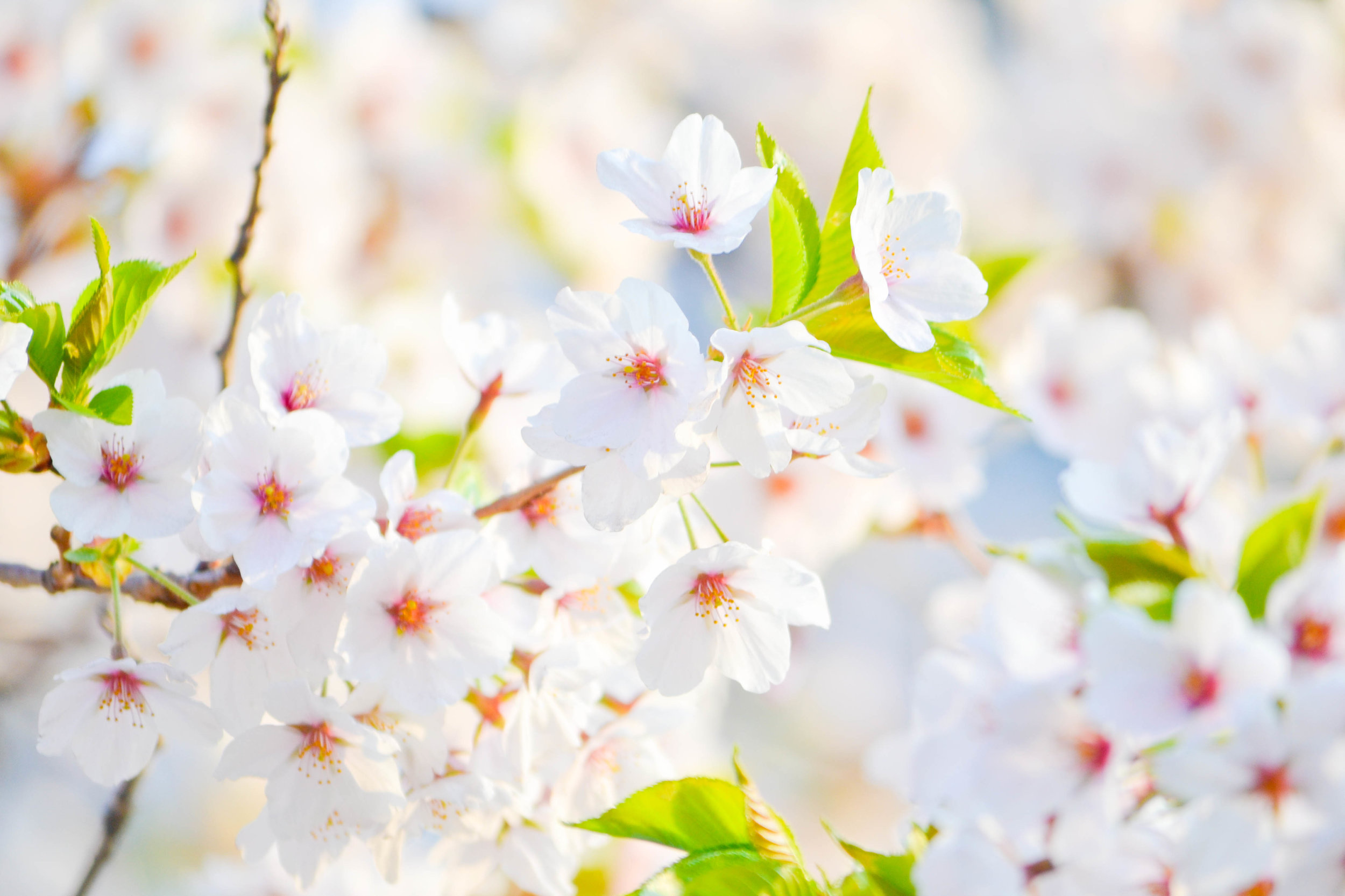 spring_break_march_madness_spring_forward_spring_bloom_flowering_tree_how_to_photograph_flowering_trees_white_bloom-1291265.jpg