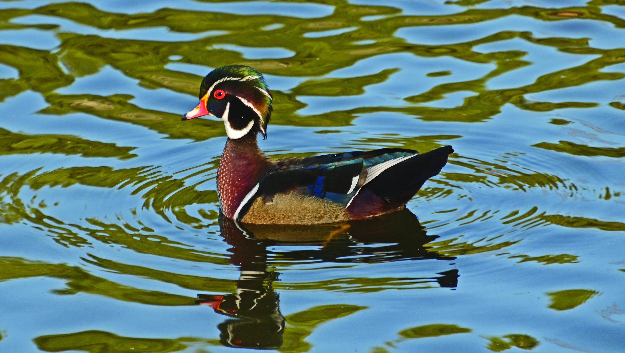 Wood Duck - Photo: Valls55