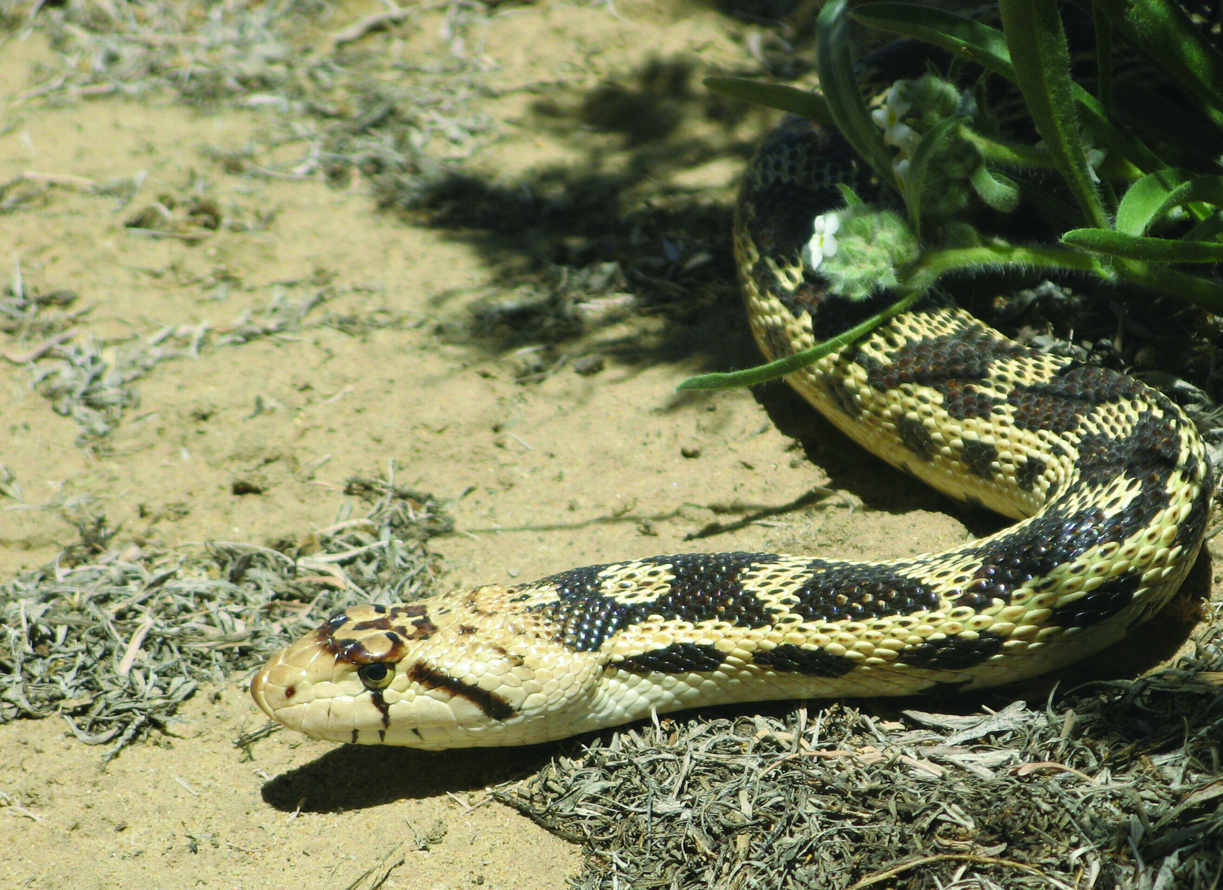 Great Basin Gopher Snake - Photo: Mostly Deserts