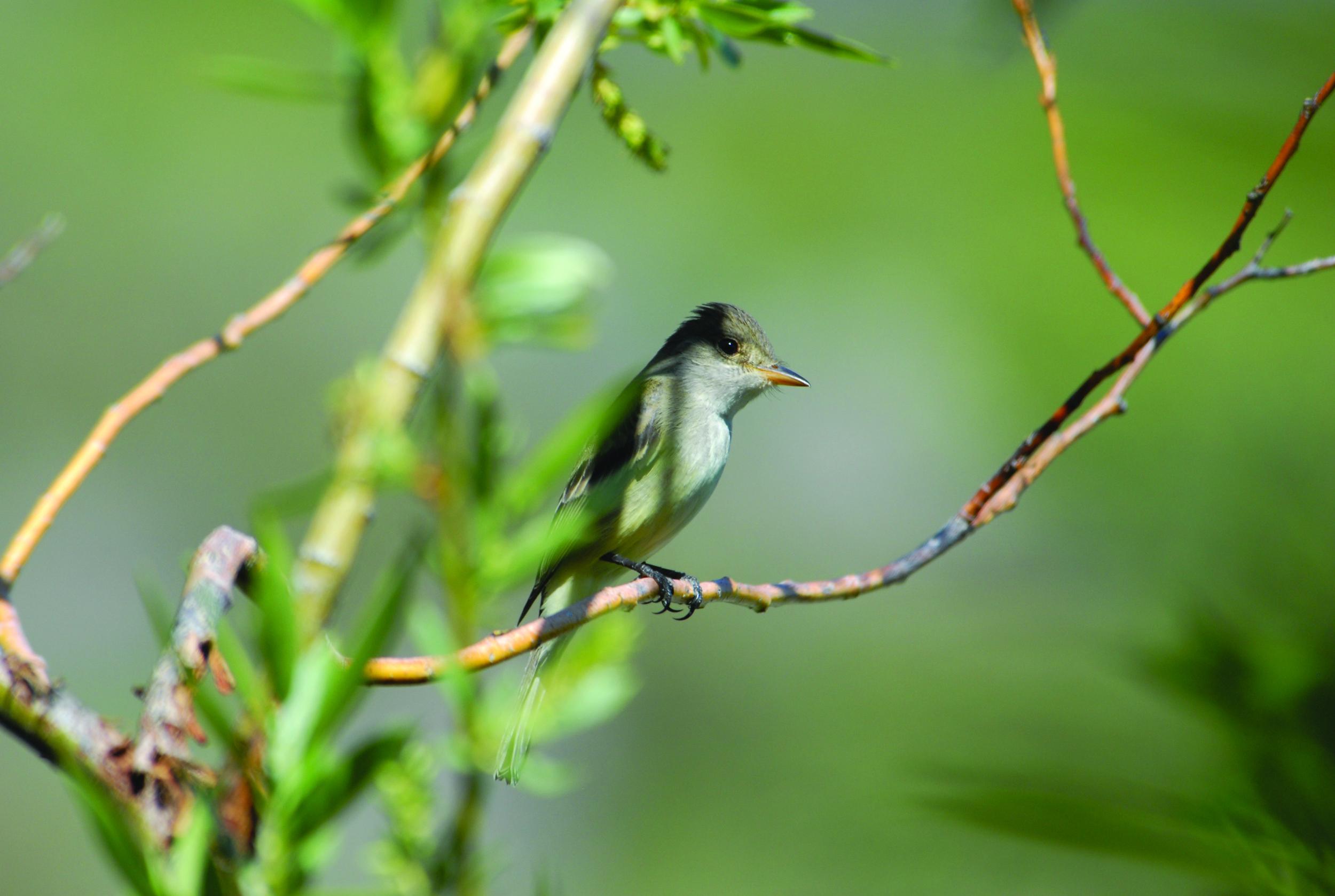 Willow Flycatcher - Photo: Davide Menke, USFWS