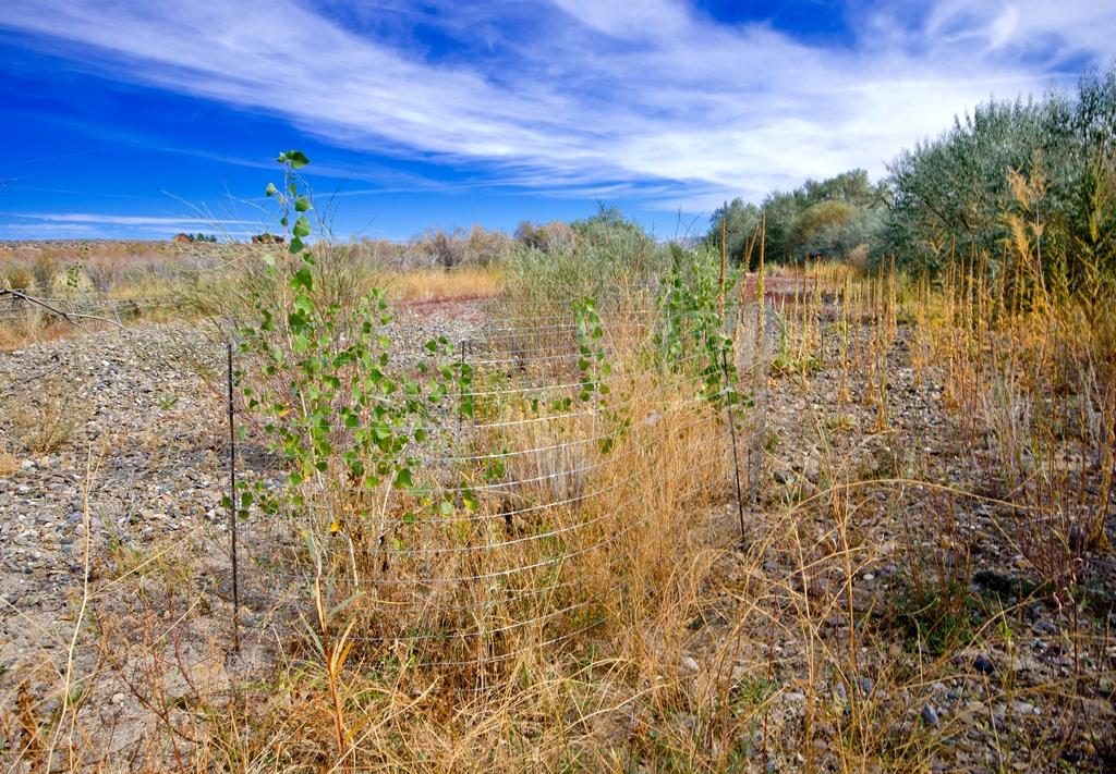 Planted Cottonwoods / Photo: WBC