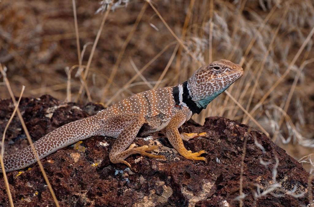 Great Basin Collared Lizard - Photo: Jackson Shedd
