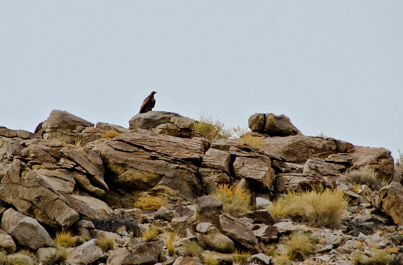 Golden Eagle - Photo: WBC