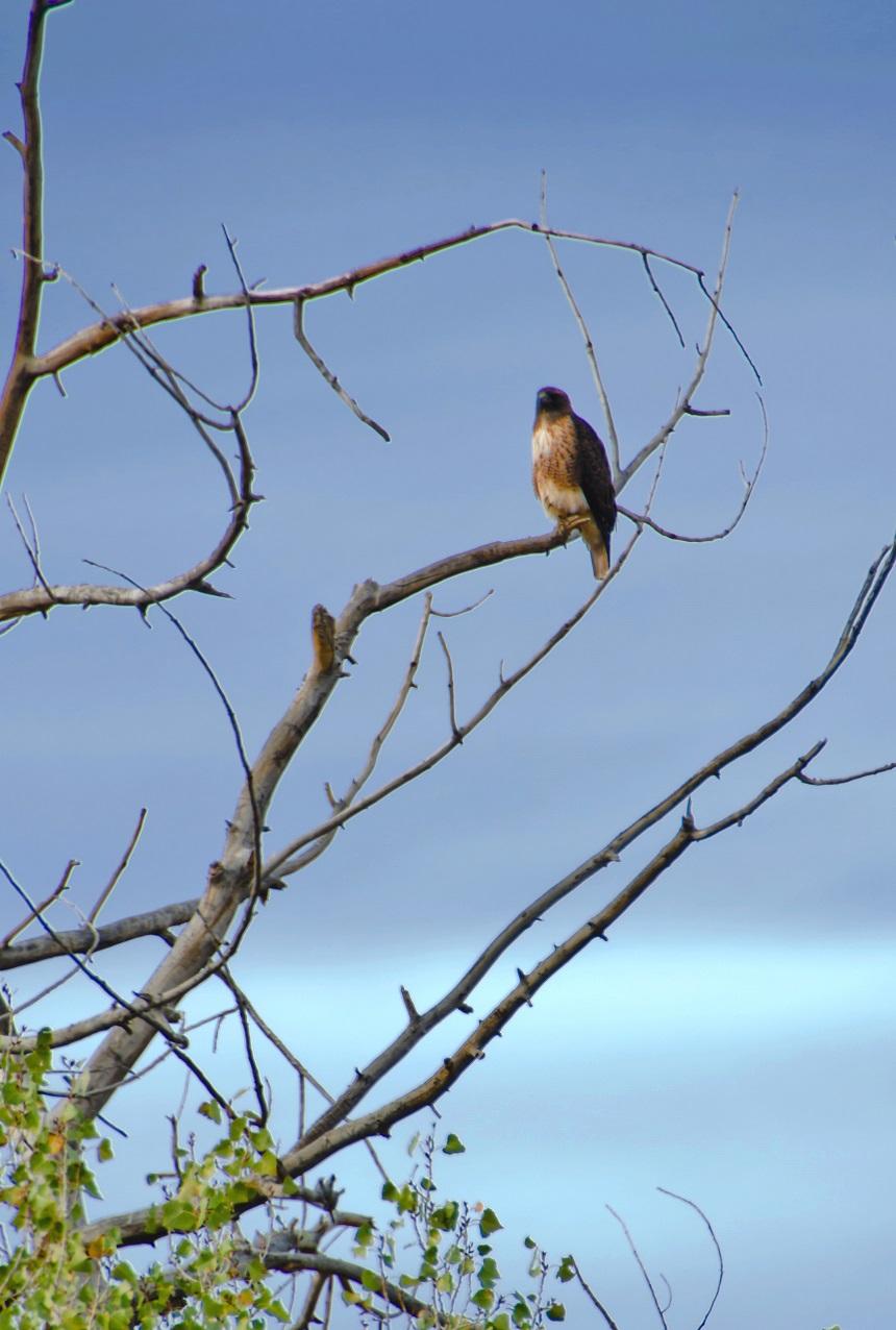 Red-taild Hawk - Photo: WBC