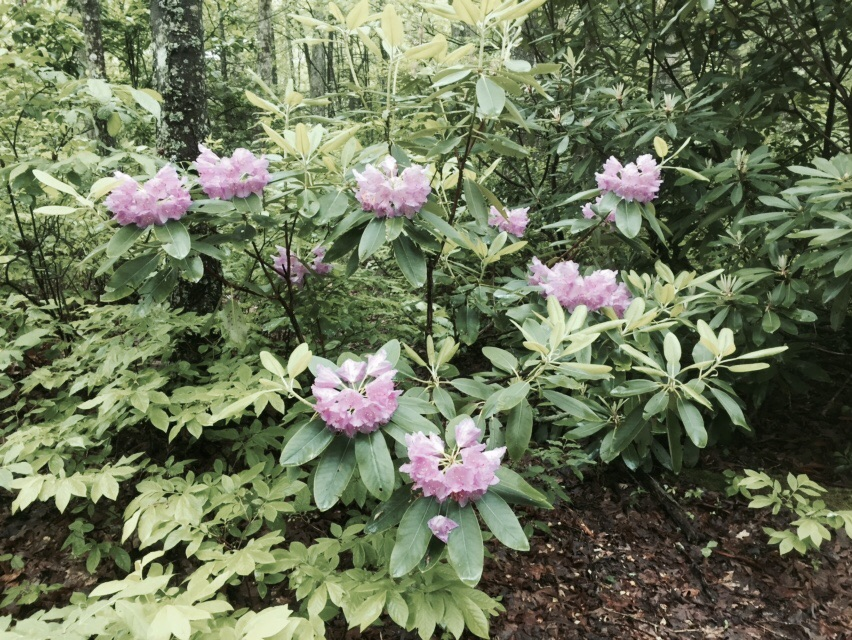 We finally saw rhododendron blooming today!