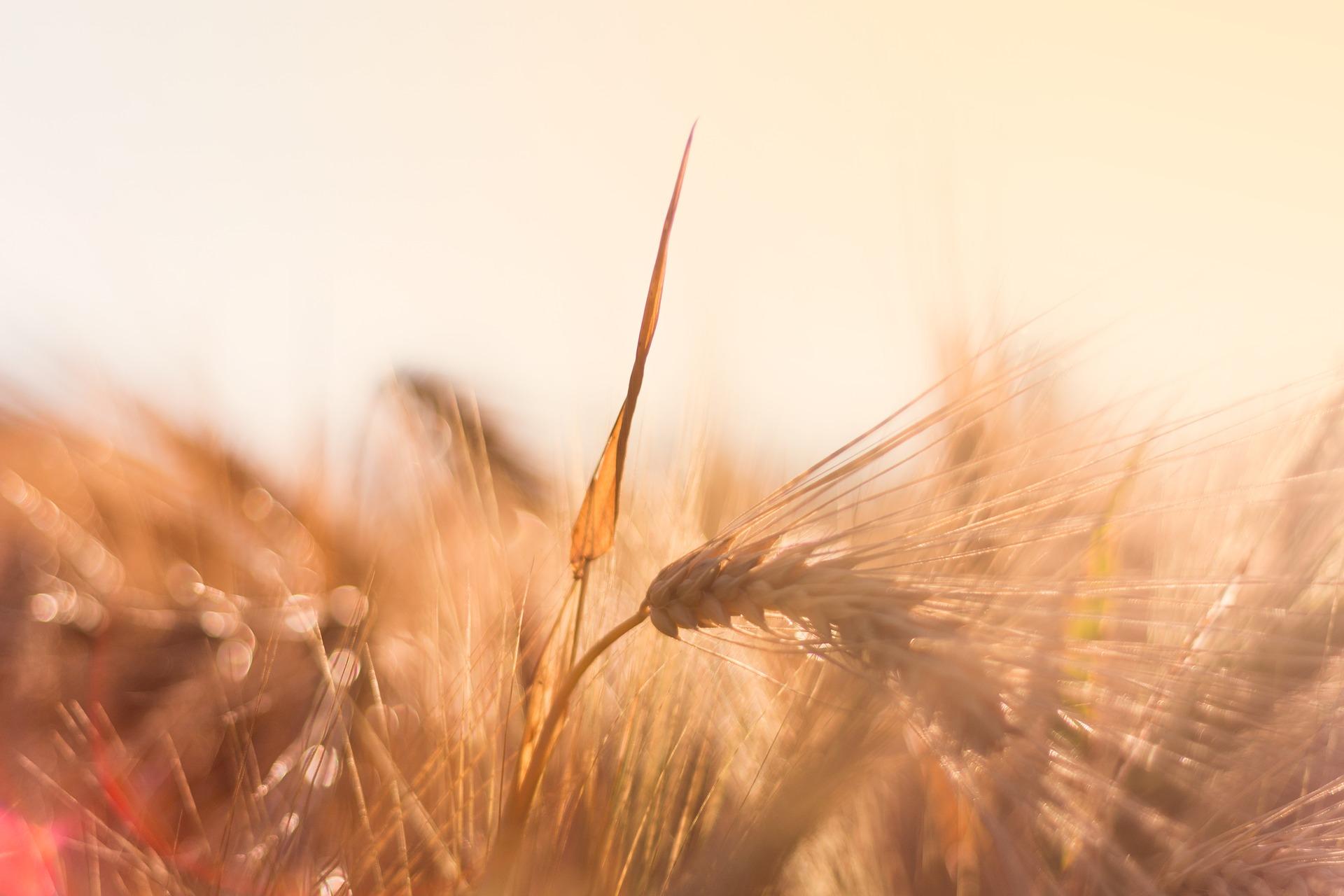 barley-2452796_1920.jpg