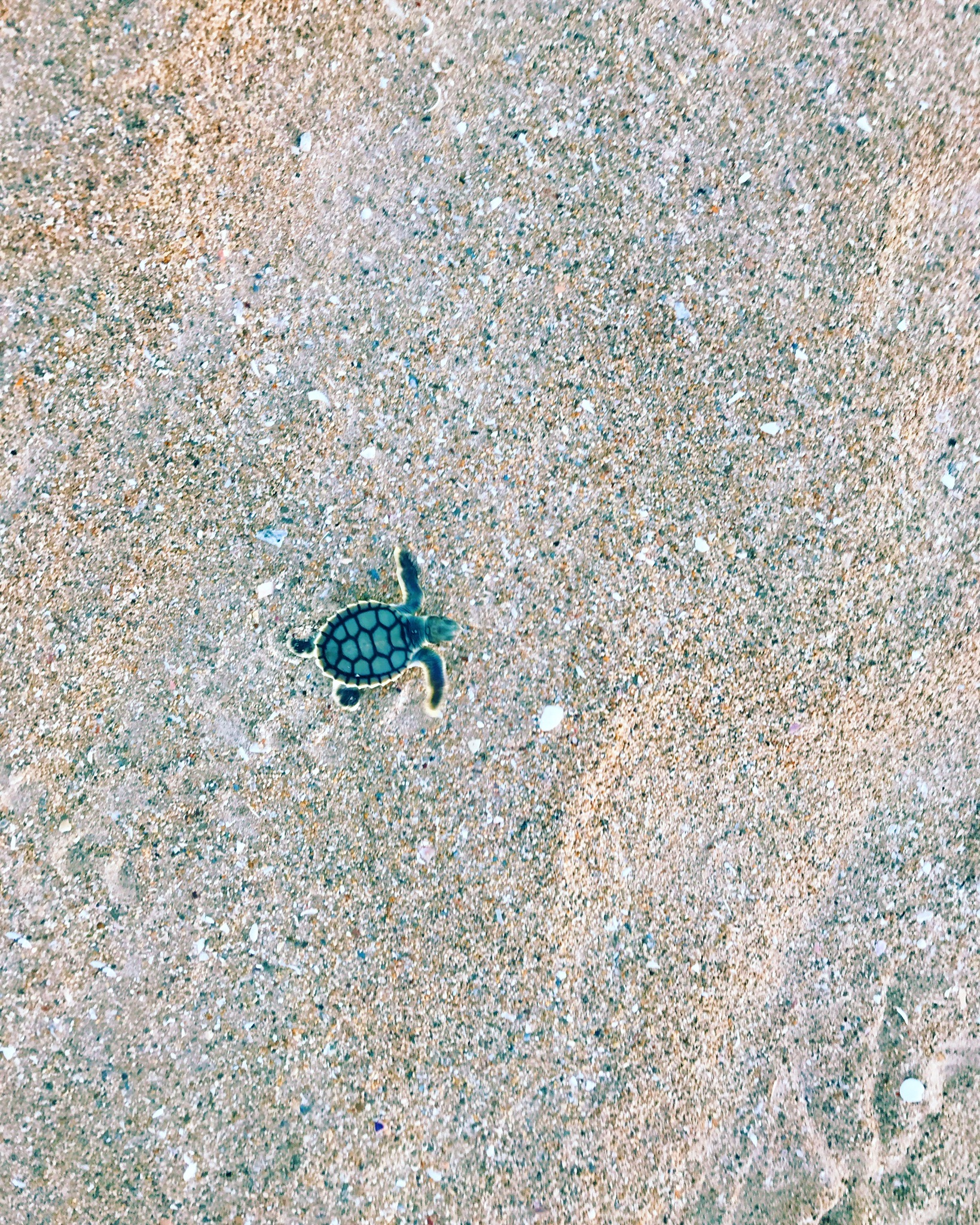 A baby flatback sea turtle makes it's way to the sea for the very first time