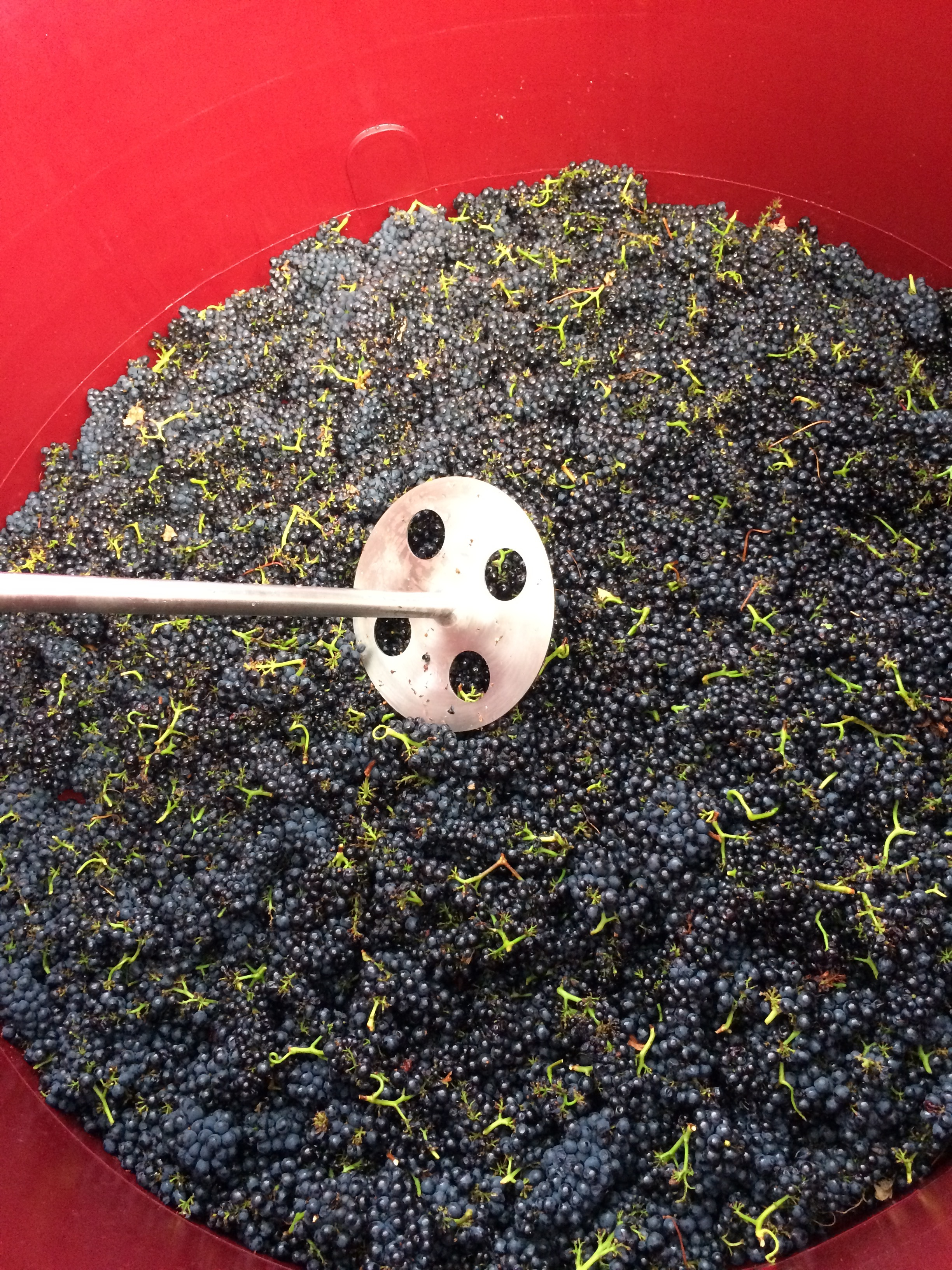 This is Pinot Noir clone 114, note the small, tight bunches and small berries. Some of the fruit was kept as whole bunches to add more tannin structure to the wine. Pinot Noir yields were down this year due to a cool wet Spring and uneven Summer temperatures.