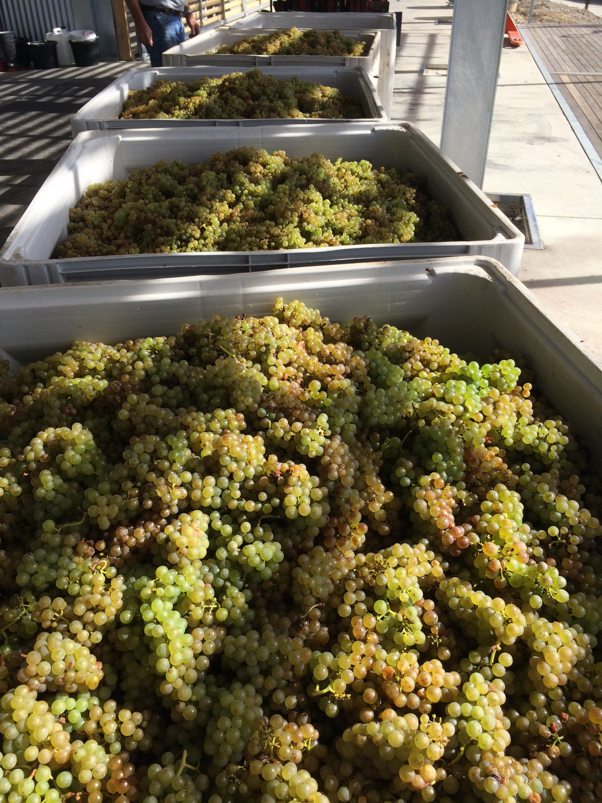 While yields were down in Chardonnay and Pinot Noir, Riesling flowers later so yields were at normal levels. Dry conditions meant botrytis wasn't a problem this year.