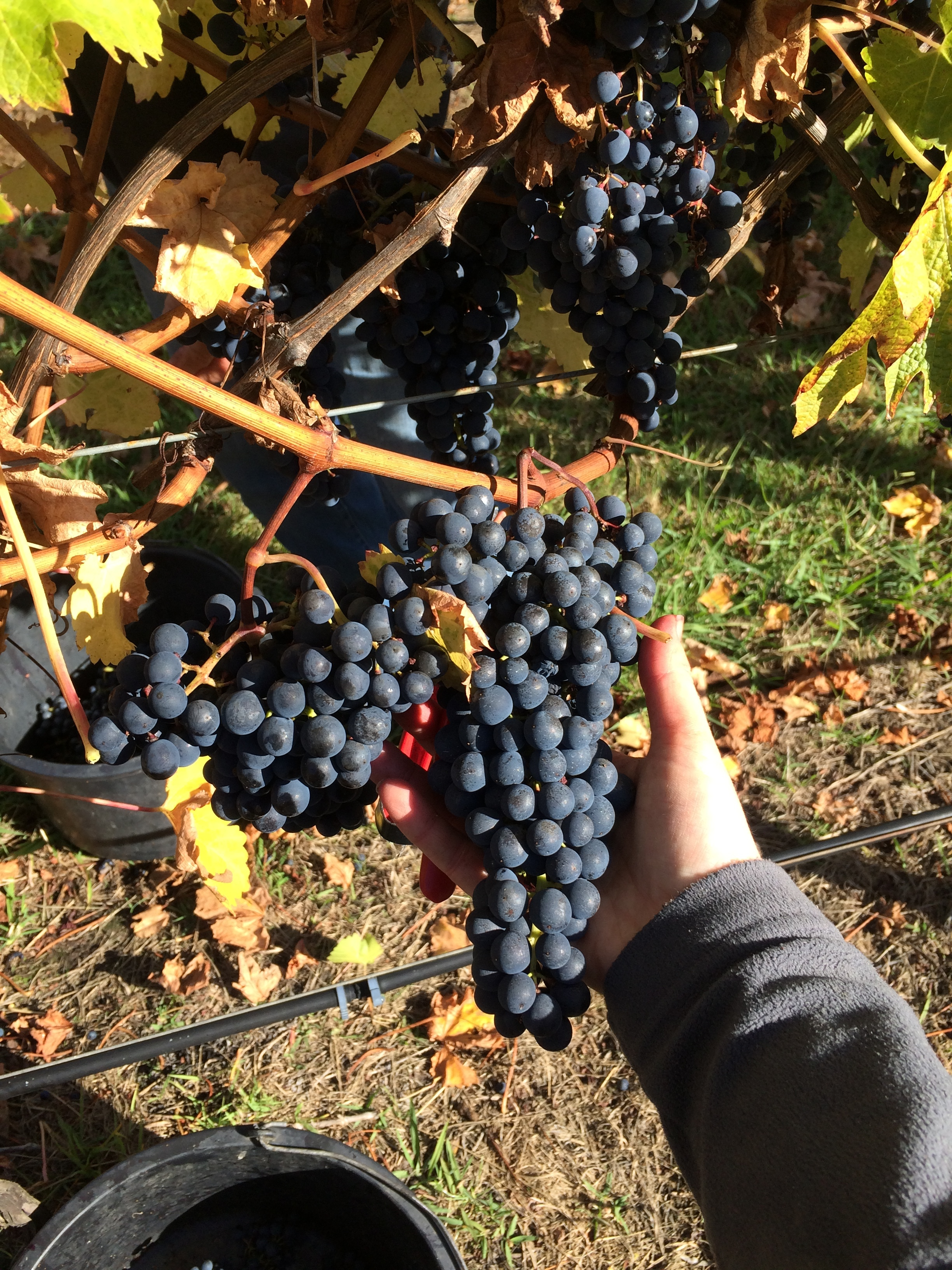 Last day of picking for 2017: Cabernet Sauvignon and Merlot. Big bunches make for easy picking.