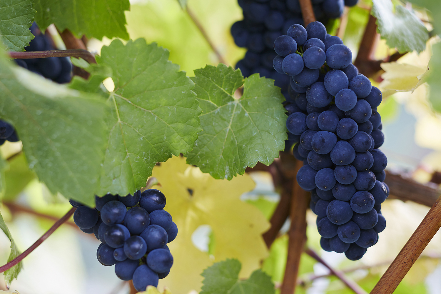 Perfect bunches of Pinot Noir