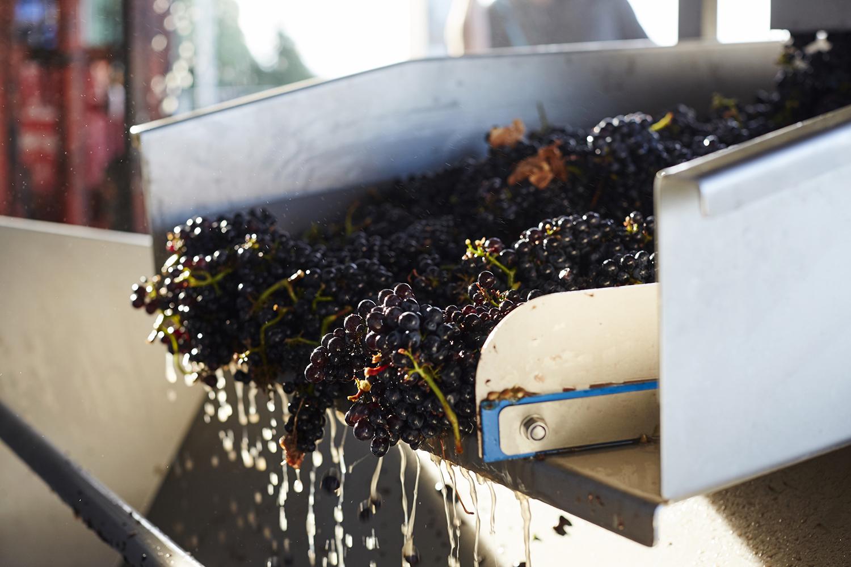 Pinot Noir grapes heading for the crusher/ destemmer