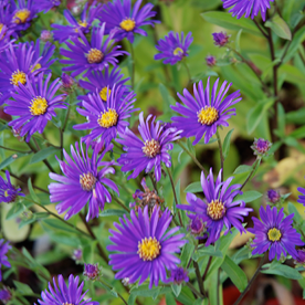 Asters     Aster spp.
