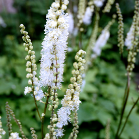 Klaseormedrue      Actaea simplex