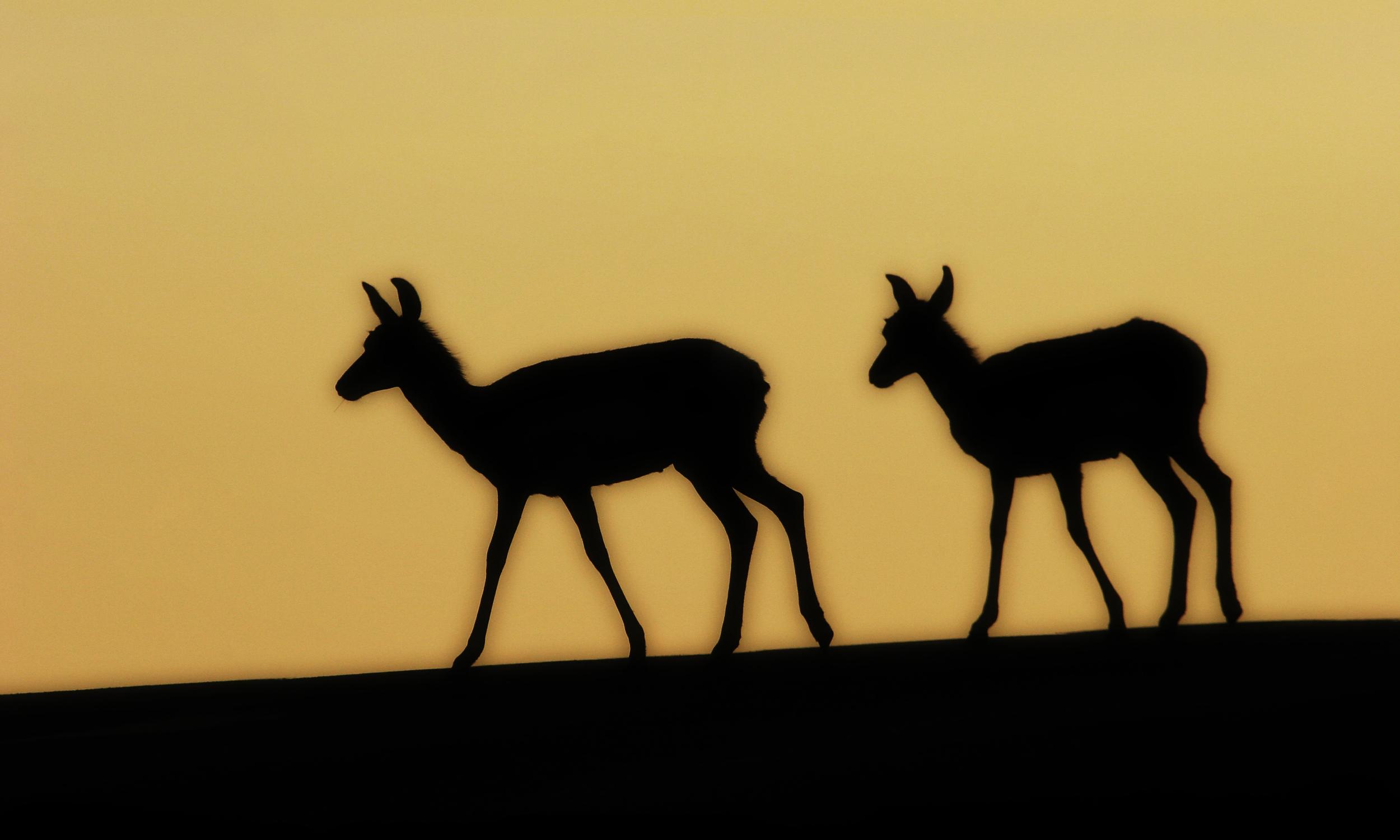 Pronghorn Antelope, Custer State Park, SD