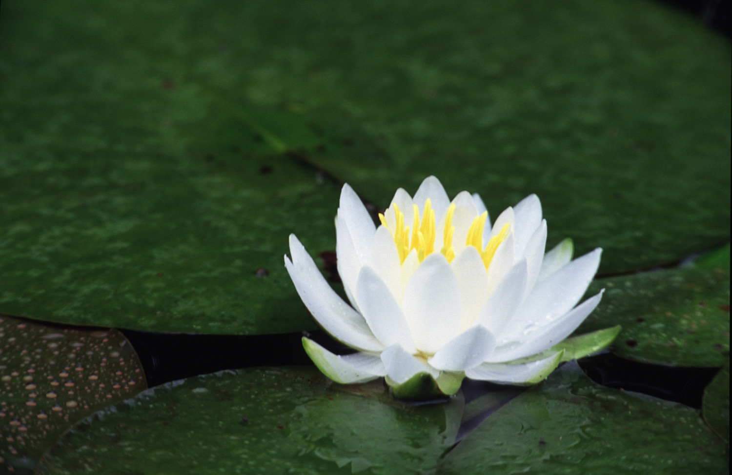 Water Lily, South Florida